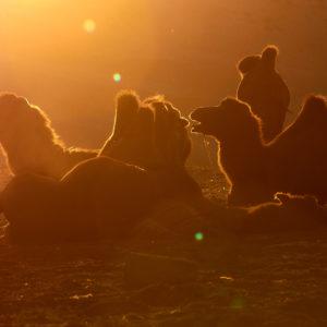 Pvk Photo | silhouettes de chameaux au coucher de soleil en Mongolie
