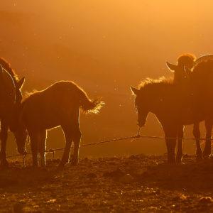 Pvk Photo | silhouettes de chevaux au coucher de soleil en Mongolie