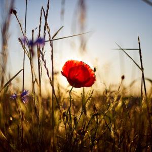Pvk Photo | Coquelicot des champs en bord de route au coucher de soleil